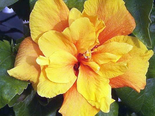 31 летие подарить фиолетовые тюльпаны